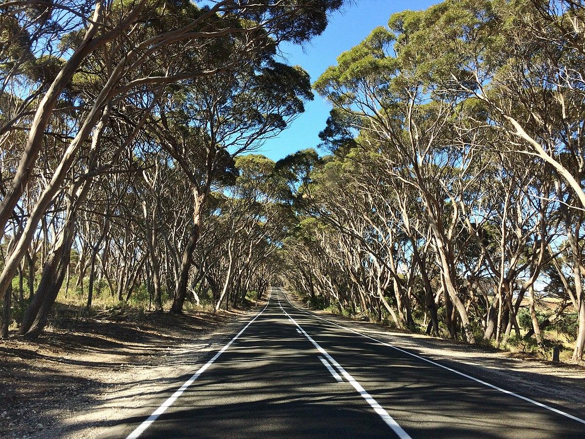 Eucalyptus Cneorifolia Wikipedia