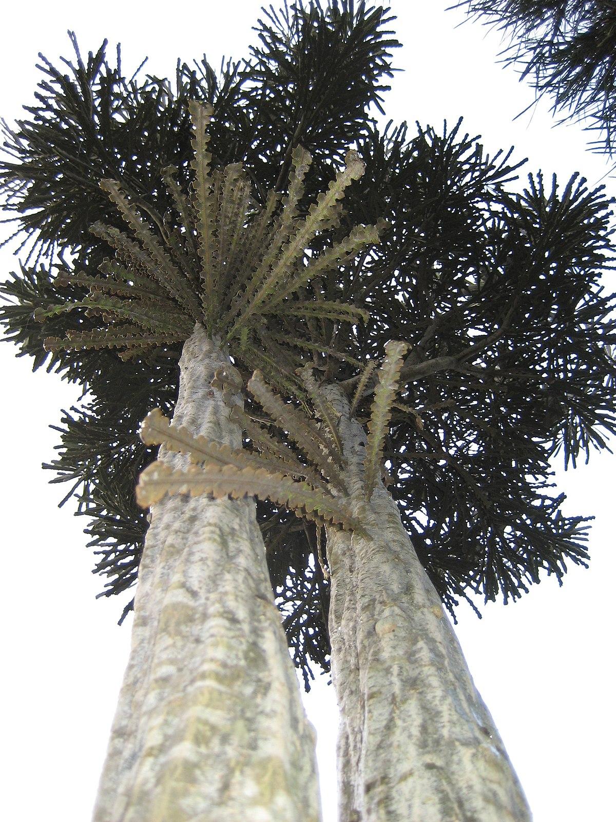 Pseudopanax Ferox Wikipedia