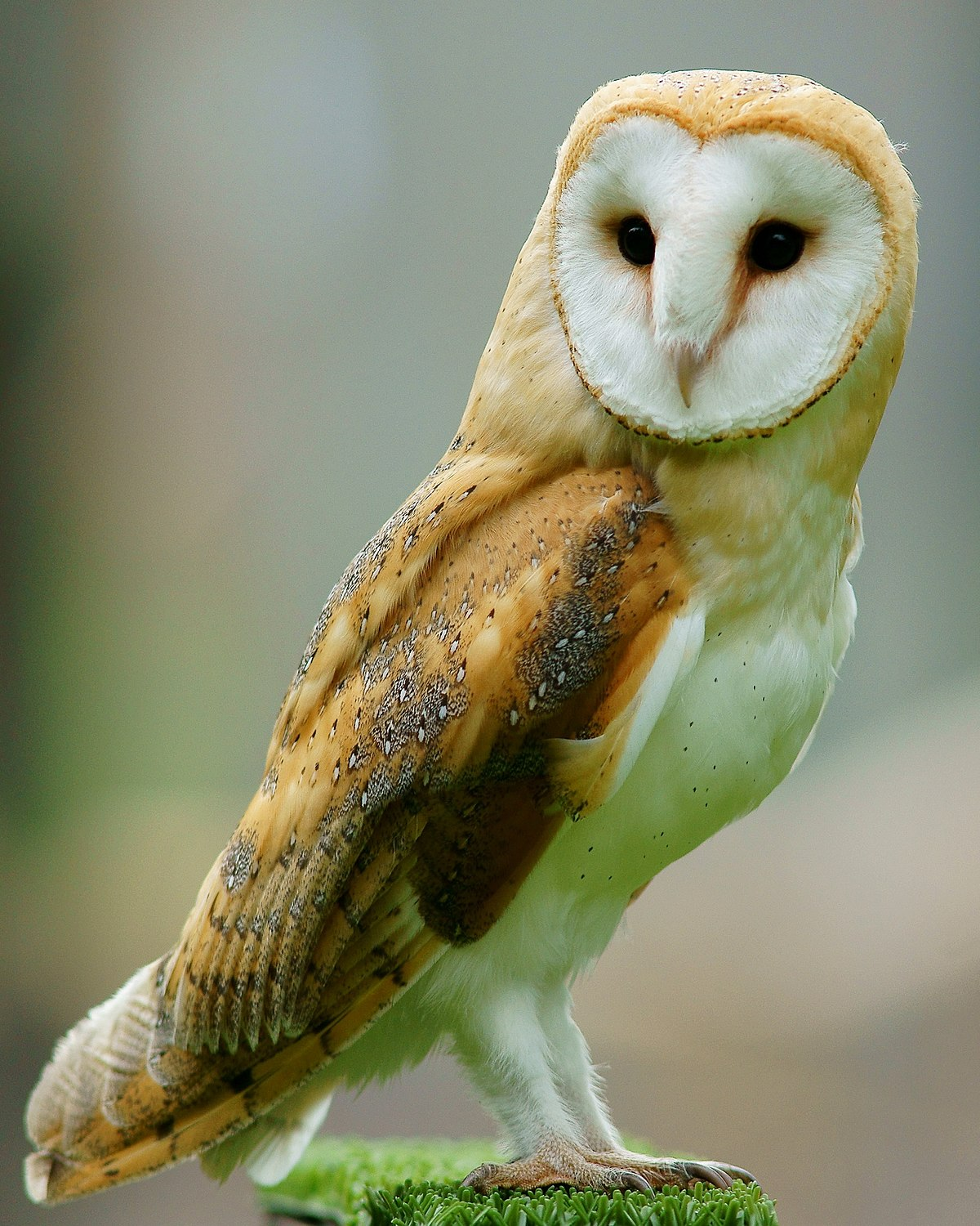 Barn owl - Wikipedia