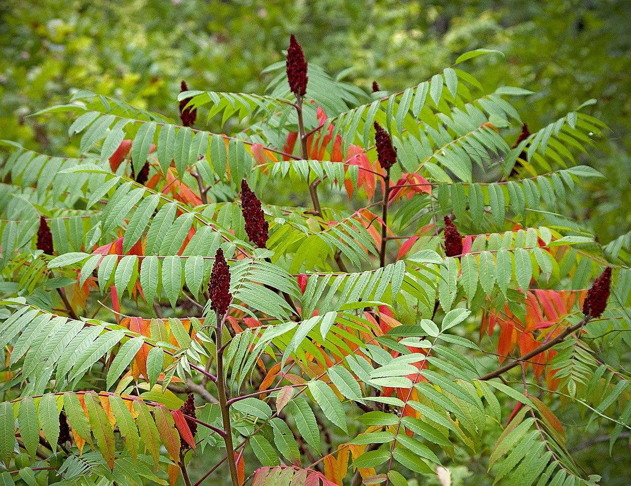File Сумах оленерогий Сумах пушистый Уксусное дерево