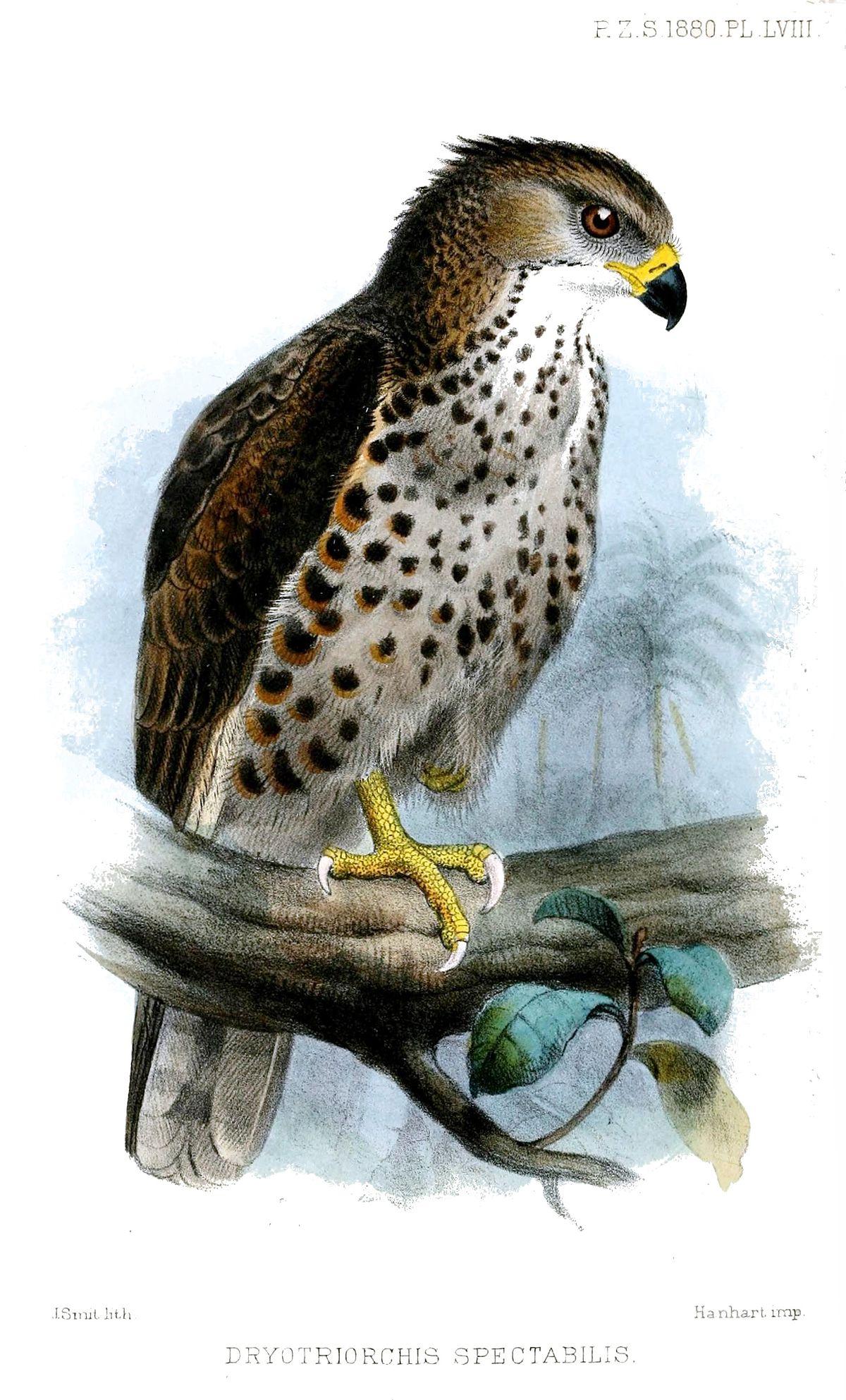 Congo Serpent Eagle Wikipedia
