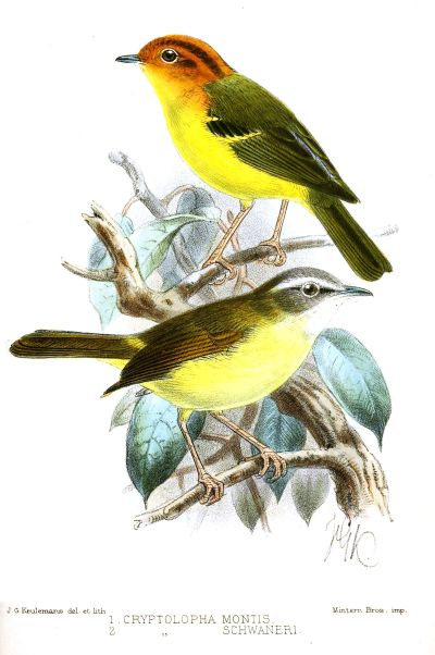 Yellow-breasted warbler - Wikipedia
