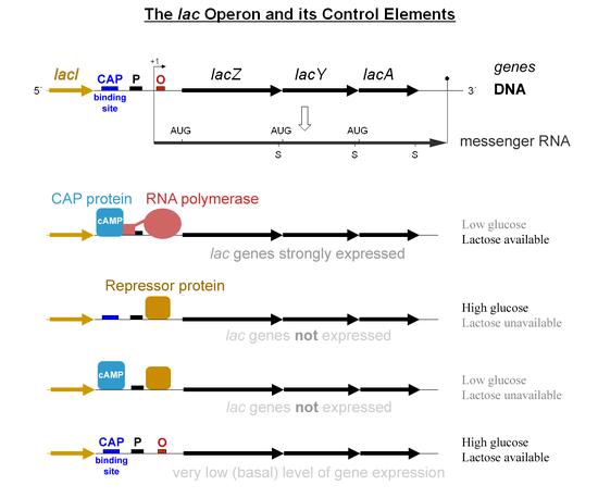 What Molecule Does Transcription Produce