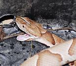 Agkistrodon contortrix - Wikipedia