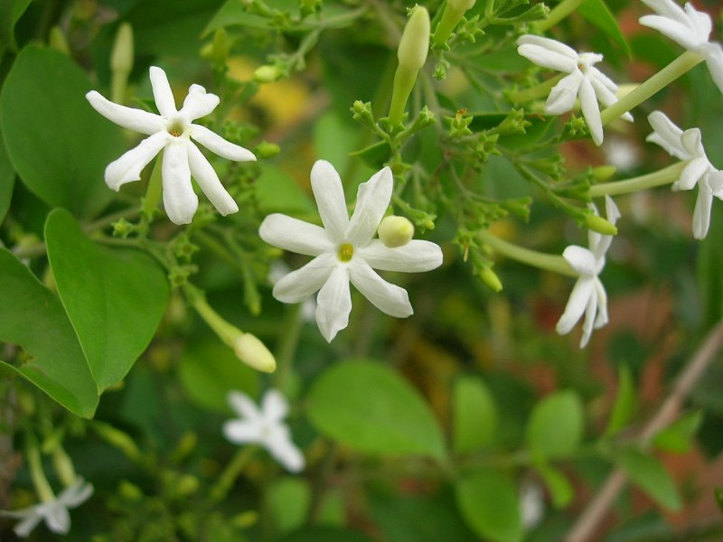 Jasmine in Karnataka   Wikipedia