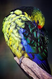 Green Rosella Wikipedia