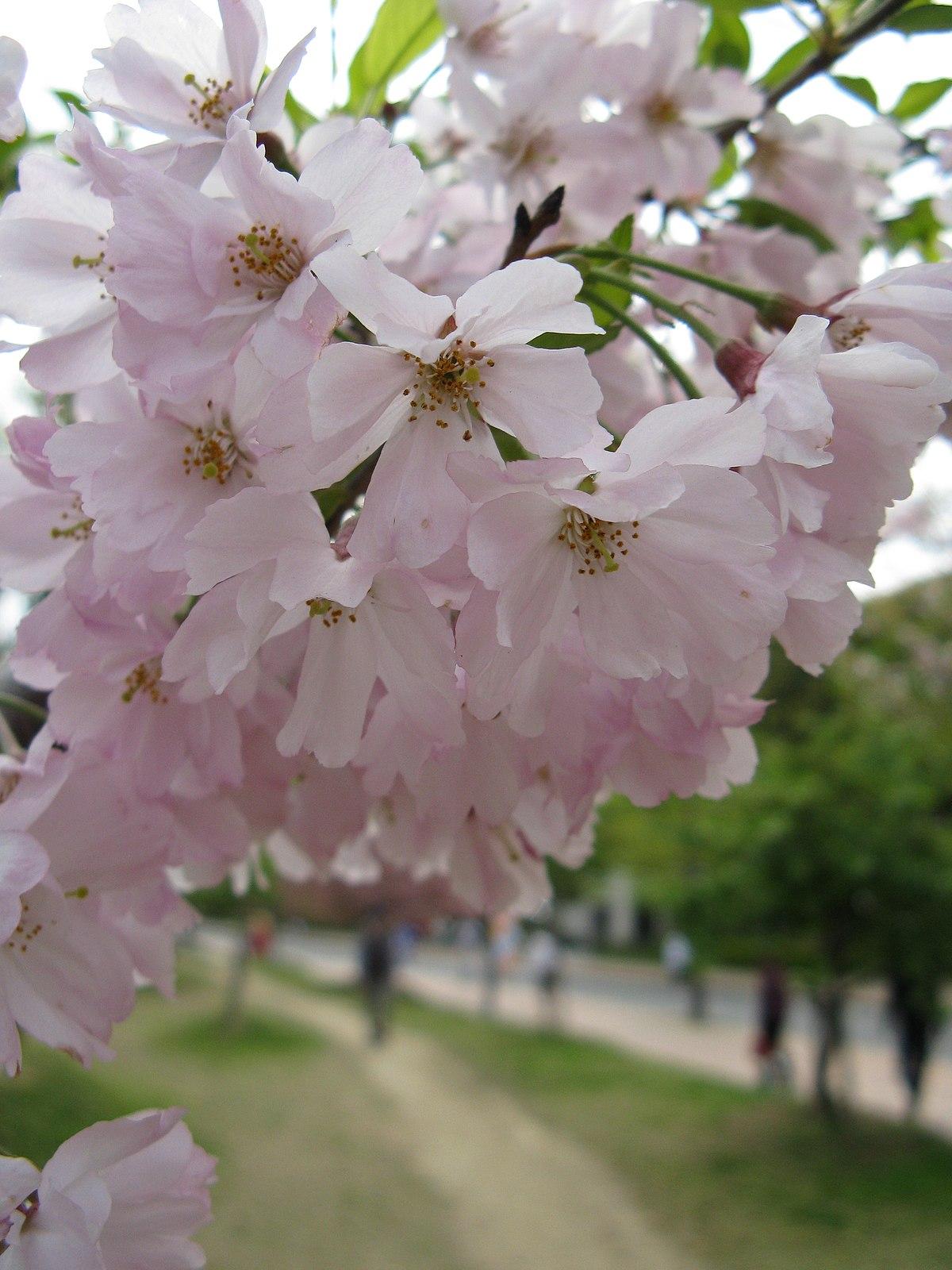 Prunus Subhirtella Wikip 233 Dia