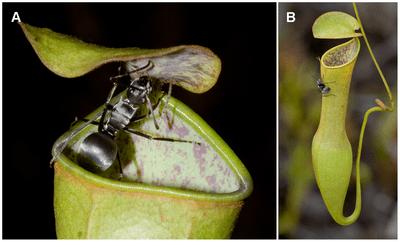 Nepenthes gracilis - Wikipedia
