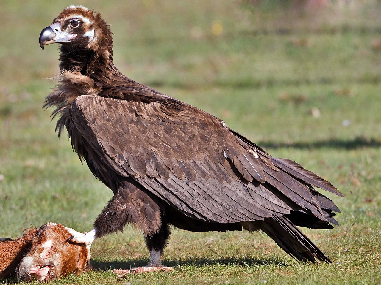 Diclofenac claims first official victim in Europe: the Cinereous Vulture