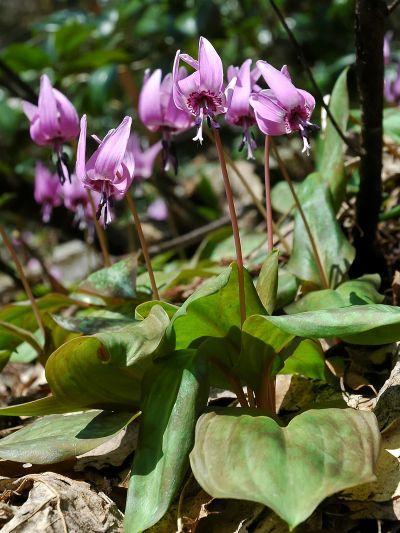 Erythronium japonicum - Wikipedia