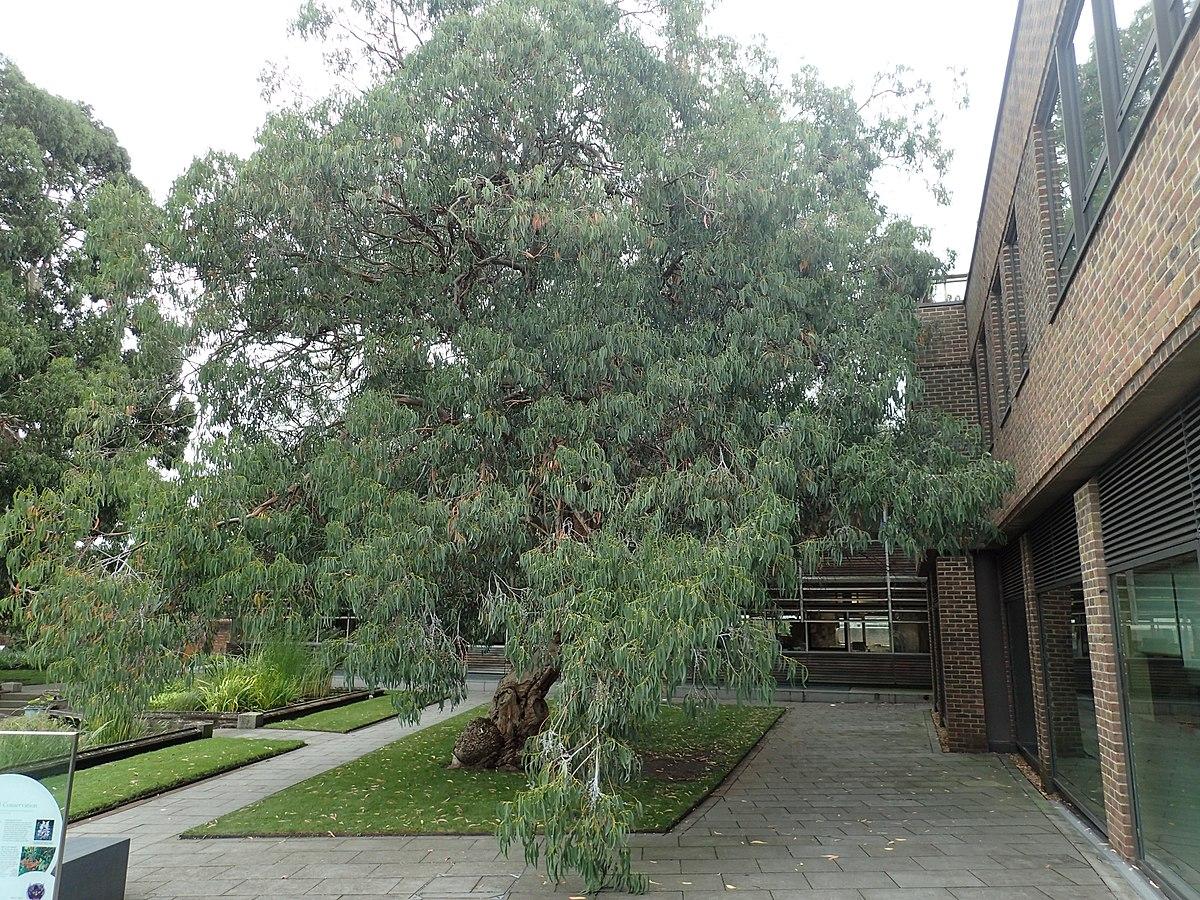 Eucalyptus Perriniana Wikipedia