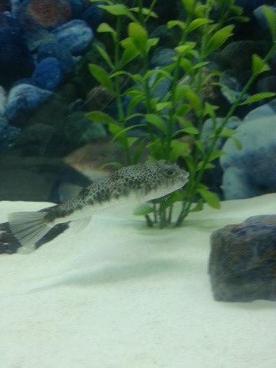 Common toadfish - Wikipedia