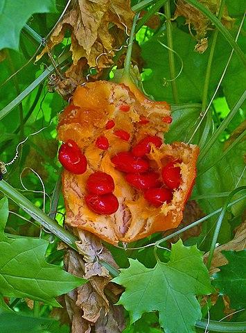 Valued Image Set Momordica Balsamina Balsam Apple