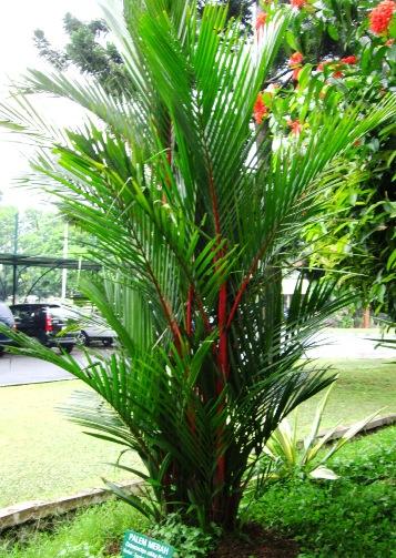 Palem merah - Wikipedia bahasa Indonesia, ensiklopedia bebas