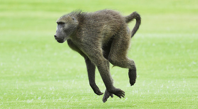 A Baboon Raced Around The San Antonio Airport In A Bid For