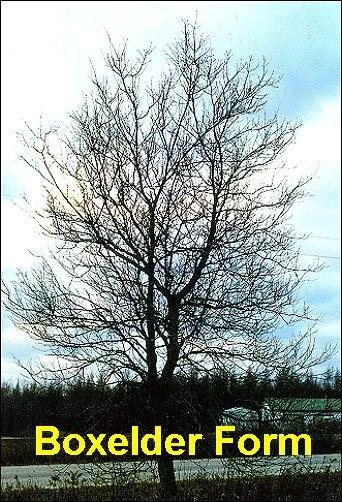 Sugar Maple Tree Bark Id