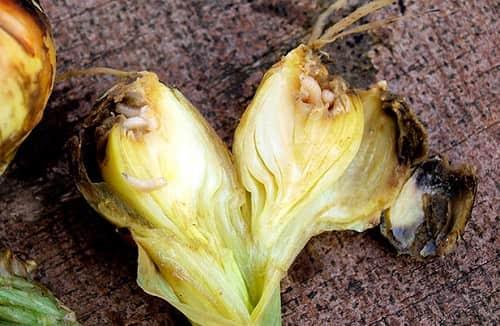 Priznaki lukovoj muhi na razreze lukovicy