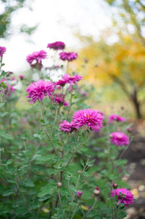 A Photo Of Chrysanthemum Flowers In An Autumn Garden  Chrysanthemums     A photo of chrysanthemum flowers in an autumn garden  Chrysanthemums   sometimes called mums or
