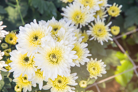 Beautiful Of Chrysanthemums Flowers Outdoors Daisies In The     Beautiful of Chrysanthemums flowers outdoors Daisies in the agriculture  garden Chrysanthemums in the Park