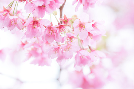 Pink Cherry Blossom Cherry Blossom  Japanese Flowering Cherry     Pink cherry blossom Cherry blossom  Japanese flowering cherry  on the  Sakura tree