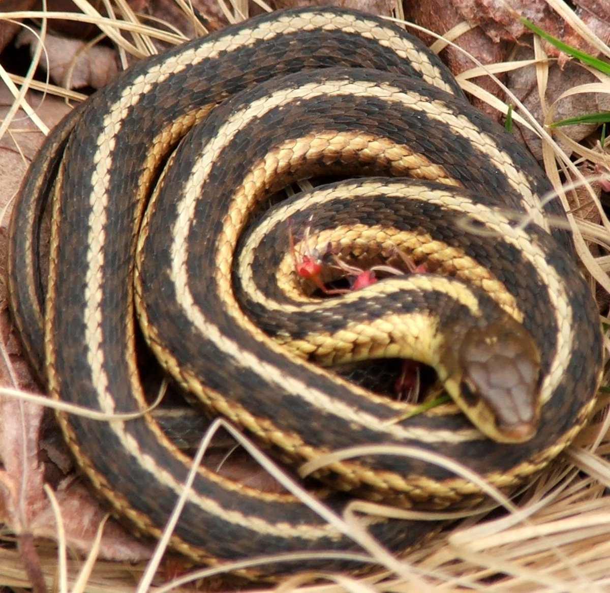 Black And Yellow Snake Indiana