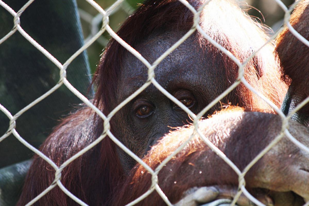 Image of: Behind Bars Orangutan Owlcation The Sad Animals In Zoos Myth Owlcation