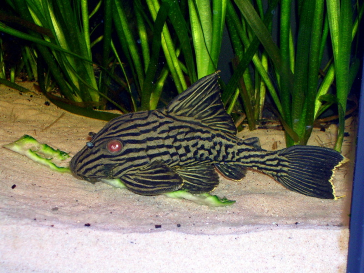 Chinese Algae Eater Fish
