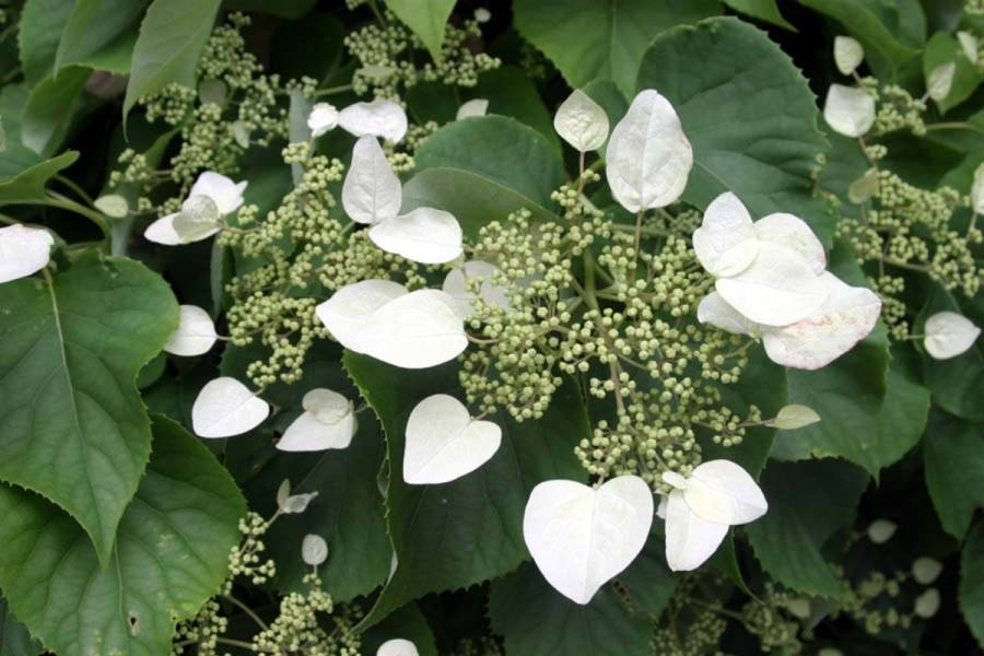 Everything You Need to Know About Climbing Hydrangea   Dengarden Beautiful white cluster flowers