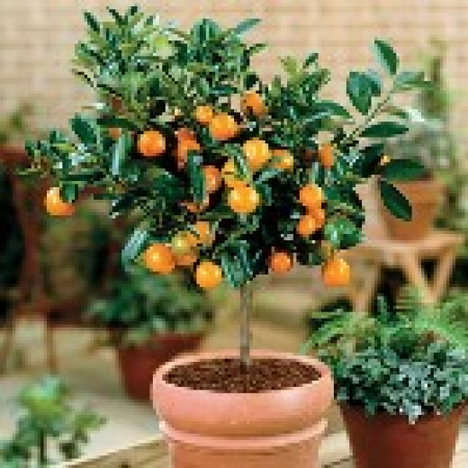 How Take Care Lemon Tree