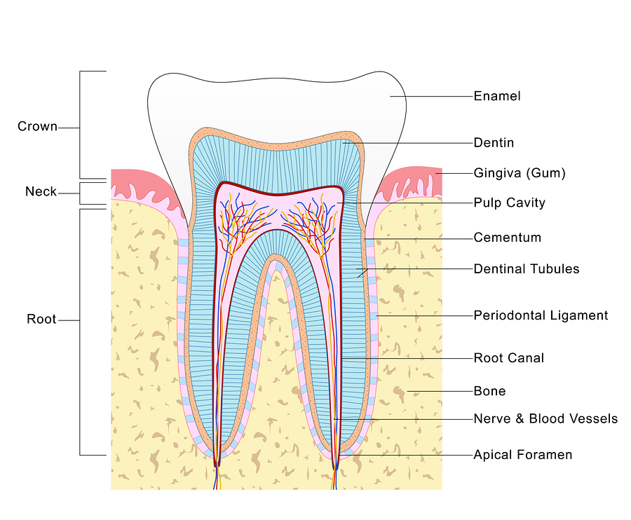 All About Root Canals Vacendak Dentistry