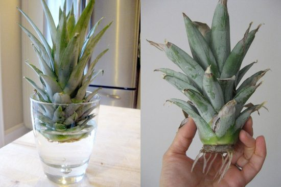 Верхушка ананаса в стакане с водой и с корнями