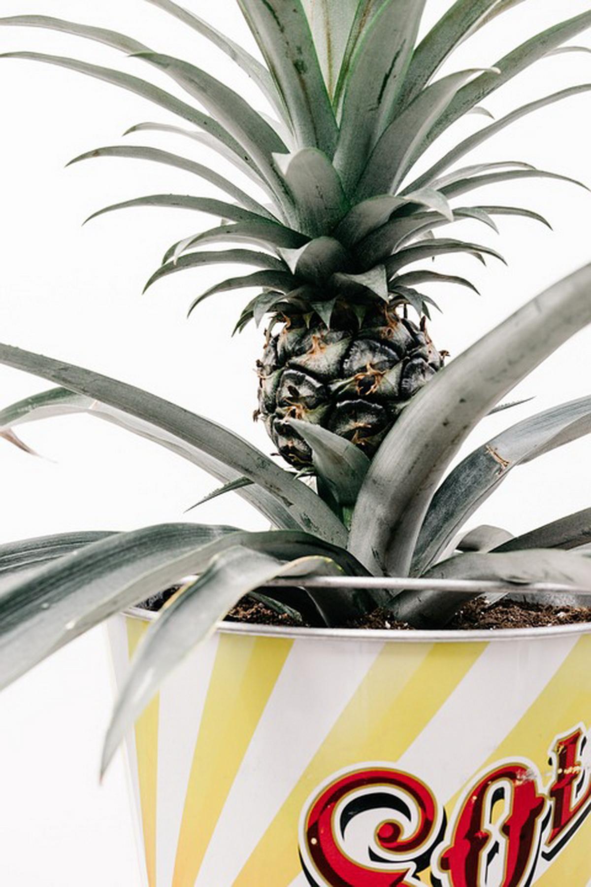 Как выбрать ананас для выращивания