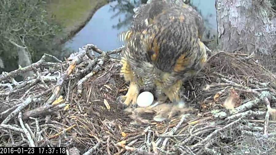 Cornell Lab of Ornithology s Great Horned Owl Live Cam   The Kid     Cornell Lab of Ornithology s Great Horned Owl Live Cam   The Kid Should See  This