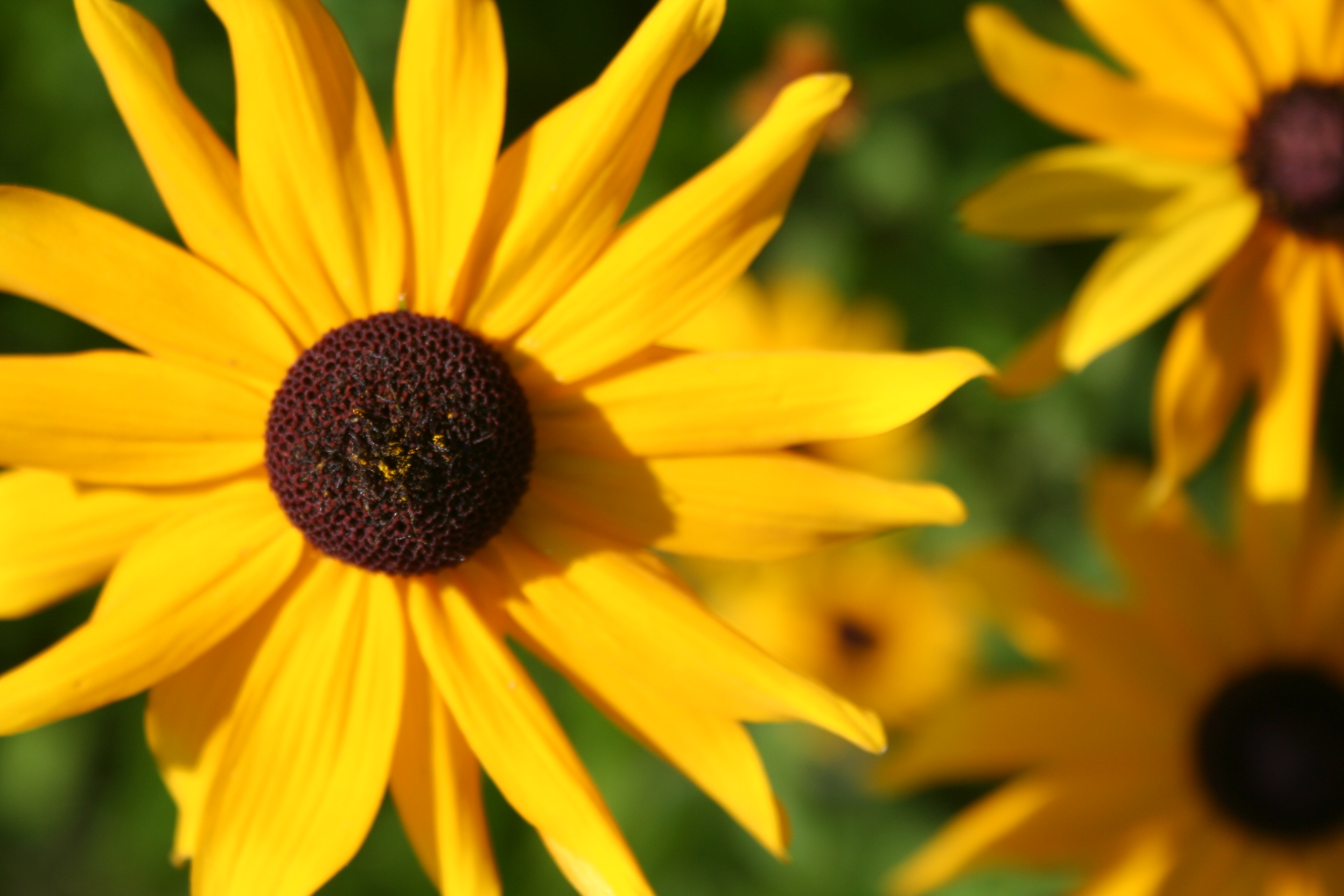 brown eyed susan - HD 1352×901