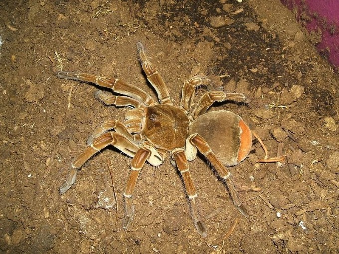 Goliath Bird Eating Spider   Deadliest Beasts Wiki   FANDOM powered     Goliath Bird Eating Spider