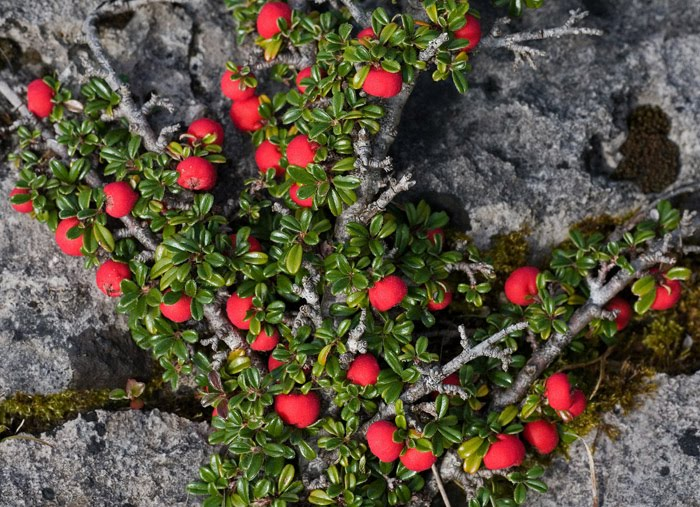 Arctic Tundra Bearberry