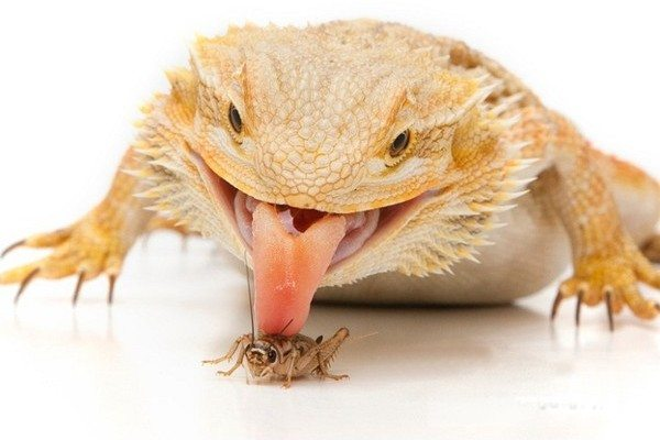 A Guide to Bearded Dragon Diet, Food & Nutrition ...