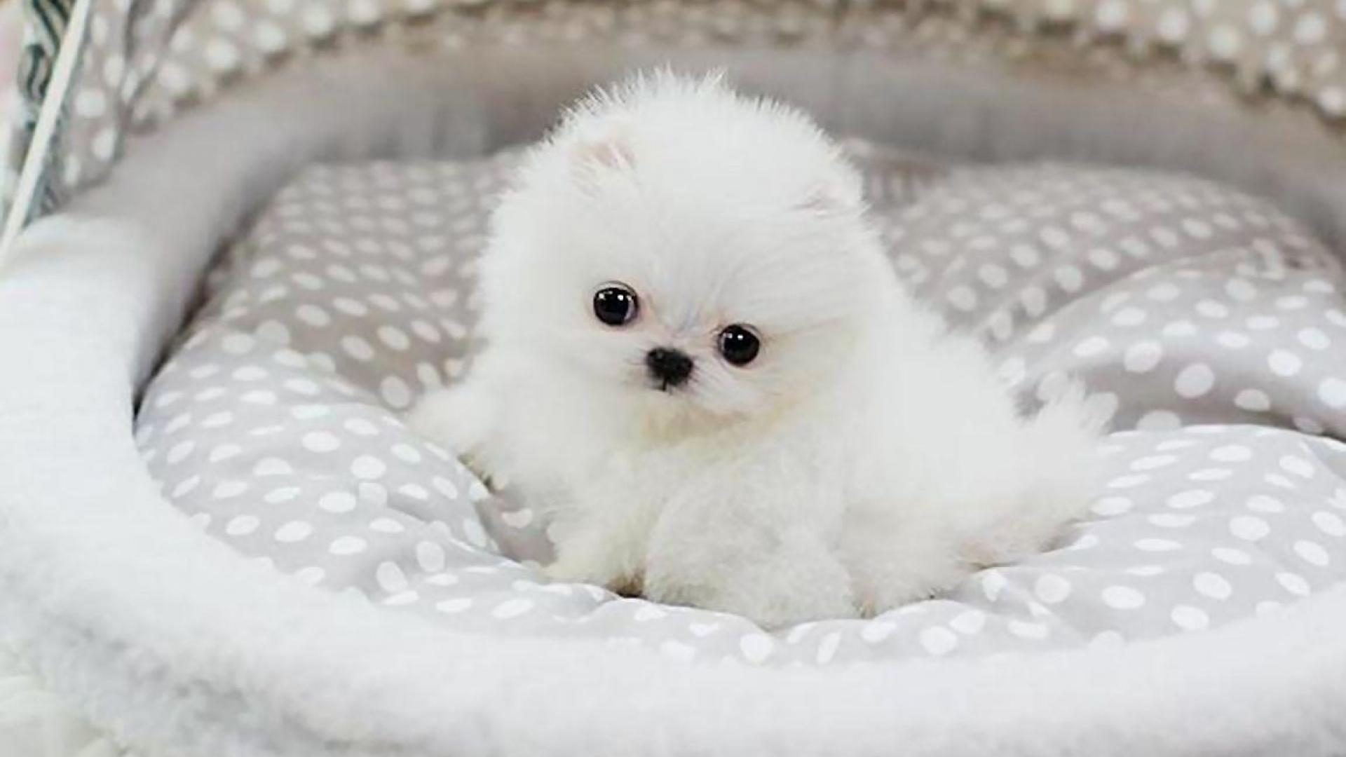 Pomeranian Puppy Wallpapers Group  67   TEACUP POMERANIAN PUPPY LULU WALLPAPER     106593    HD Wallpapers