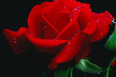Red Rose Desktop Wallpapers Group  92   Red Rose Desktop Wallpaper 6780 HD Wallpapers   Glefia com