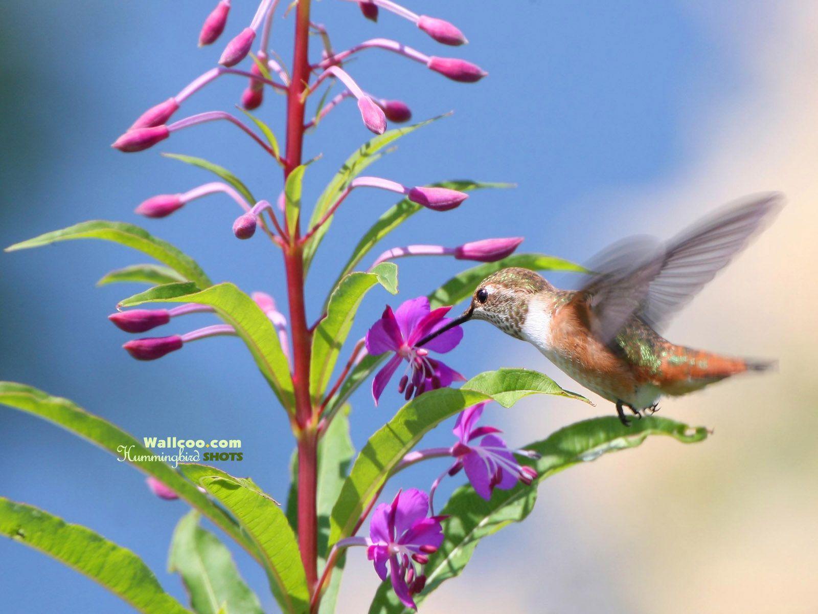 hummingbird wallpaper for computer