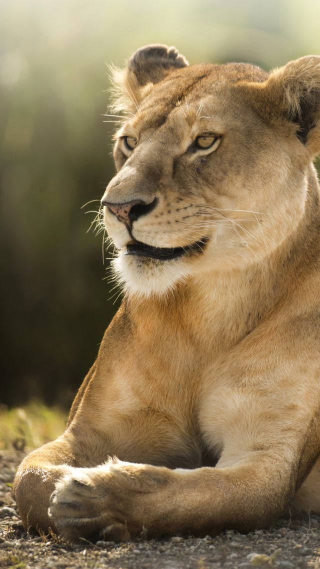 Wallpaper Lion Savanna Cute Animals Animals 4507