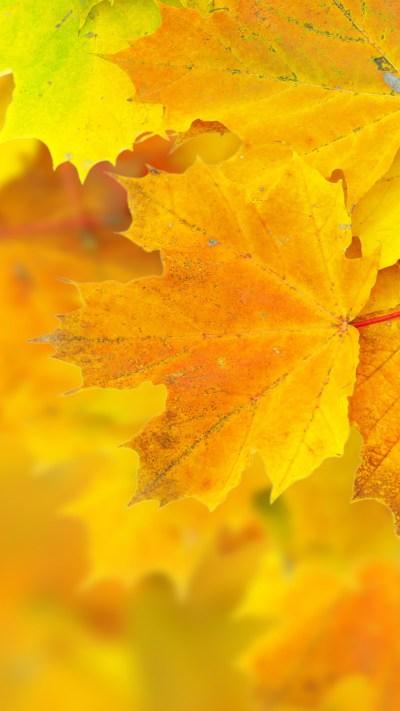 Wallpaper Leaves, 5k, 4k wallpaper, 8k, maple, macro ...