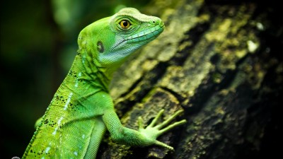 Wallpaper lizard, close-up, green, eyes, reptilies ...