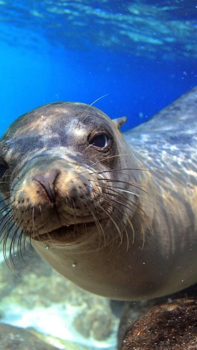 Wallpaper Sea Lion, Galapagos, island, Ecuador, underwater ...