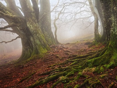Old Beech Forest Foggy wallpapers | Old Beech Forest Foggy ...