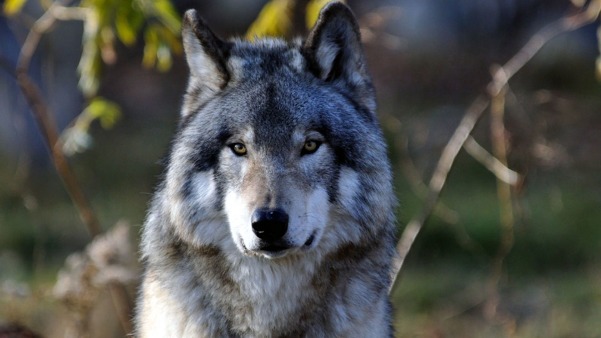 Eyes White And Black Blue Wolf