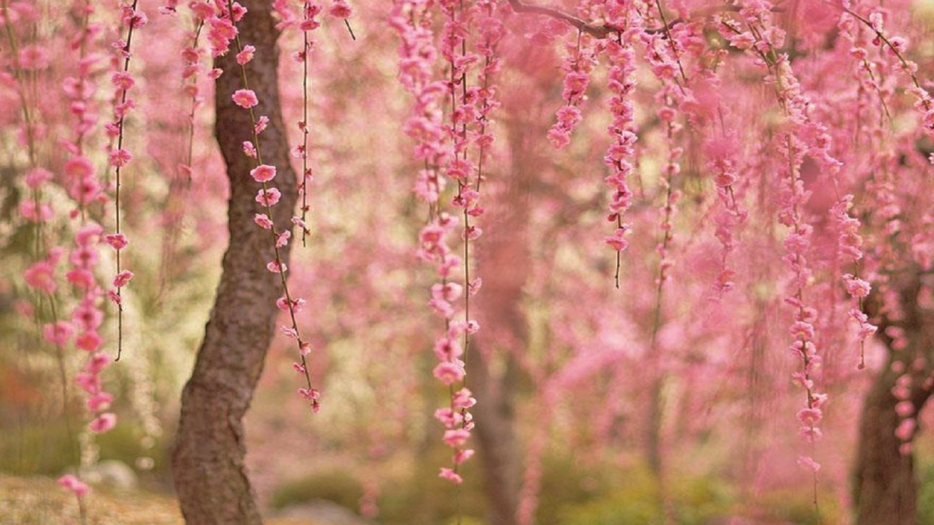 cherry blossom wallpaper - HD1920×1080