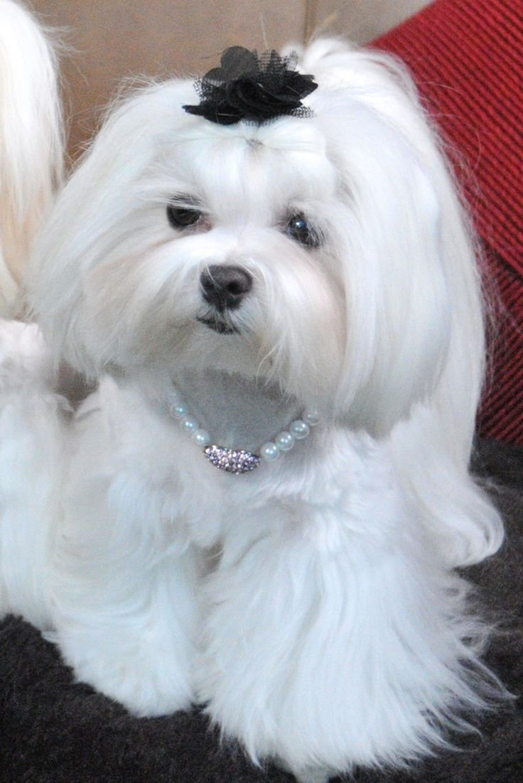 New Best 25 Maltese Haircut Ideas On Pinterest Maltese Maltese Dogs And Maltese Puppies Ideas With Pictures