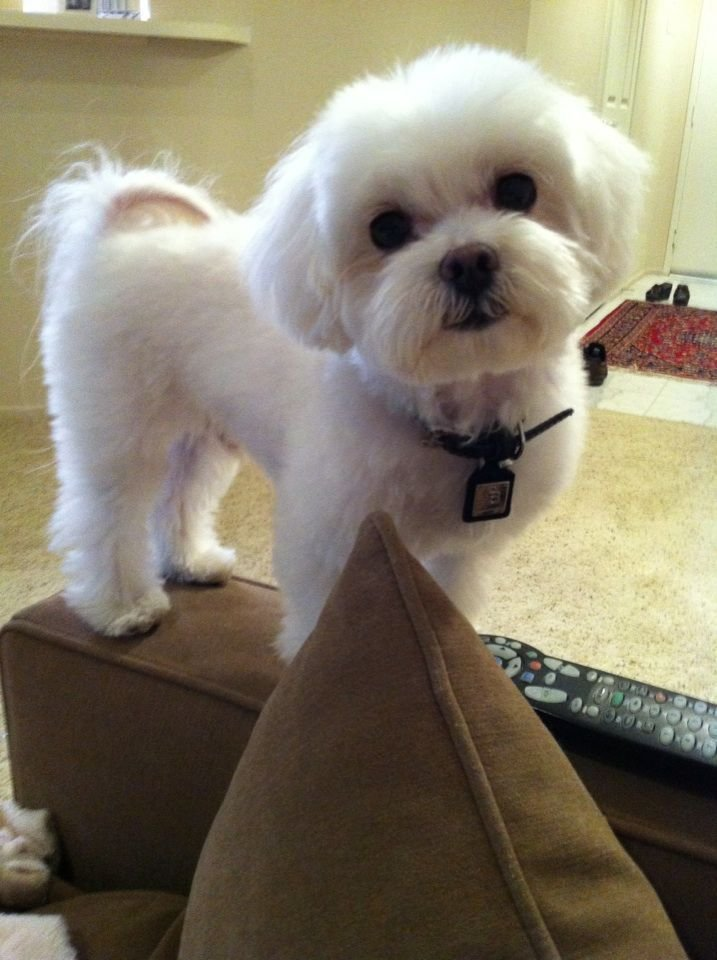 New 1000 Ideas About Maltese Haircut On Pinterest Maltese Maltese Dogs And Maltese Puppies Ideas With Pictures