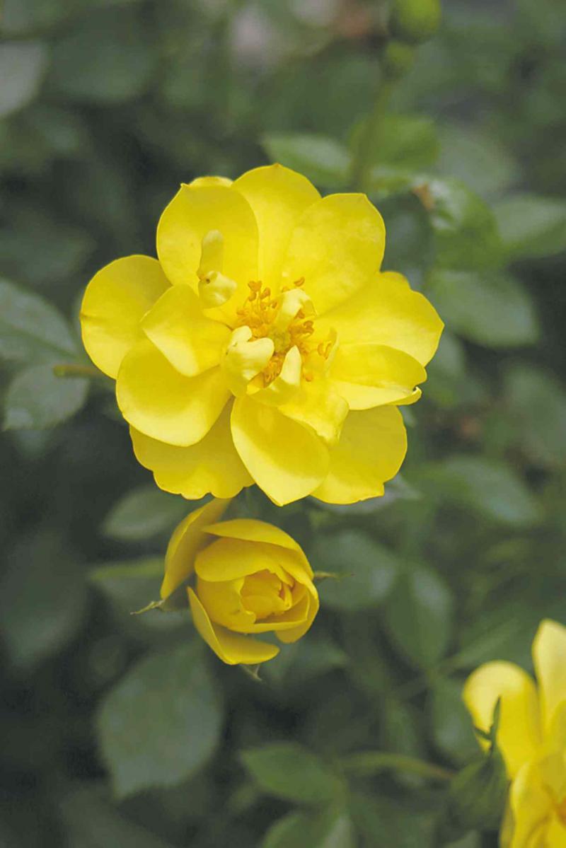 Oso Easy Lemon Zest Rose